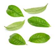 Zielona herbata liść odizolowywający na bielu Obraz Royalty Free