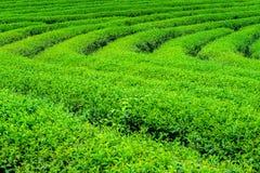 Zielona herbata liście i pączek Obraz Royalty Free