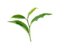 zielona herbata liści, Obraz Stock