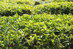 Zielona herbata liście na herbacianej plantaci Zdjęcie Stock
