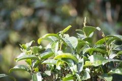 Zielona herbata liście na herbacianej plantaci Zdjęcia Royalty Free