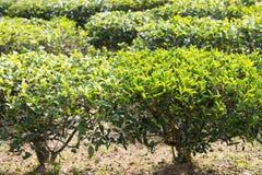 Zielona herbata liście na herbacianej plantaci Fotografia Royalty Free