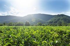 Zielona herbata liście r w górach obraz stock