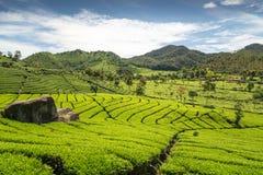Zielona herbata ogród z niebieskim niebem Obraz Royalty Free