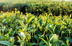 Zielona herbata pączek zdjęcia royalty free