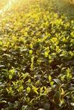 Zielona herbata pączek fotografia royalty free