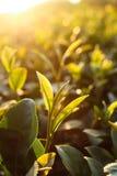 Zielona herbata pączek obraz royalty free