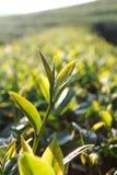 Zielona herbata pączek zdjęcie stock