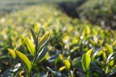 Zielona herbata pączek zdjęcia stock