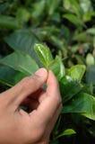 zielona herbata z zrywania zdjęcia royalty free