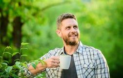 Zielona herbata zawiera bioactive mieszanki kt?re ulepszaj? zdrowie Ca?a li?? herbata Naturalny nap?j Zdrowy Styl ?ycia Wolę fotografia stock