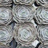 Zielona houseleek rośliny tekstura jako ładny naturalny tło Obraz Stock