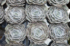 Zielona houseleek rośliny tekstura jako ładny naturalny tło Zdjęcia Stock