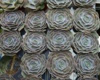 Zielona houseleek rośliny tekstura jako ładny naturalny tło Obrazy Stock