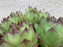 Zielona houseleek ro?liny tekstura jako ?adny naturalny t?o obraz royalty free