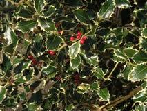 Zielona i czerwona roślina holly i bluszcza zdjęcia royalty free