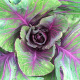 Zielona i purpurowa kapusta Zdjęcia Royalty Free