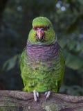 Zielona i purpurowa papuga w brazylijskim parku obraz royalty free