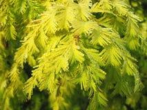 Zielona iglasta roślina w ranek rosie Zdjęcie Stock