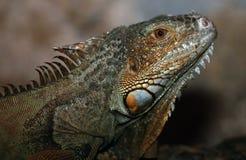 zielona iguana Zdjęcia Royalty Free