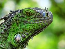 zielona iguana Zdjęcie Royalty Free