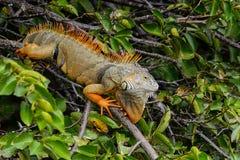 zielona iguana Obraz Royalty Free