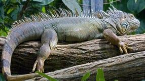 Zielona iguana 7 Obrazy Stock