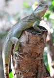 zielona iguana Obrazy Stock