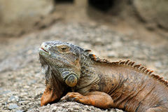 zielona iguana Obrazy Royalty Free