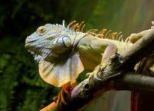 zielona iguana Zdjęcie Stock