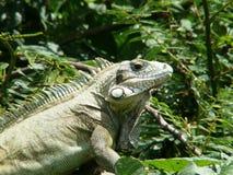 Zielona iguana Guadeloupe Zdjęcia Royalty Free