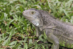Zielona iguana, iguany iguana Zdjęcia Royalty Free