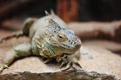 Zielona iguana (iguany iguana) Zdjęcia Stock