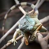 Zielona iguana (iguany iguana) Obraz Royalty Free