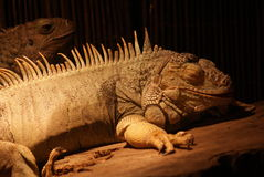 Zielona iguana - iguany iguana Fotografia Stock