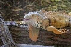 Zielona iguana - iguany iguana Obraz Stock