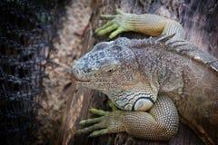 Zielona iguana - iguany iguana Zdjęcia Stock