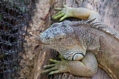 Zielona iguana - iguany iguana Fotografia Royalty Free