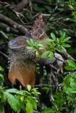 Zielona iguana - iguany iguana Zdjęcie Royalty Free