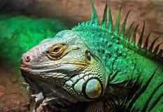 Zielona iguana - iguany iguana, piękno w naturze Zdjęcie Royalty Free