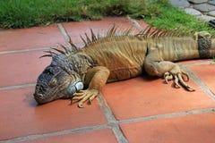 Zielona iguana, iguany iguana, także znać jako Pospolita iguana lub amerykanin iguana, Salwador Zdjęcie Stock
