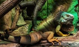 Zielona iguana - iguany iguana, zwierzęcy portret Zdjęcia Stock