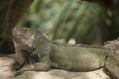 Zielona iguana lub Pospolita iguana/Jesteśmy Środkowy i Ameryka Południowa gatunki iguana miejscowy Obraz Stock