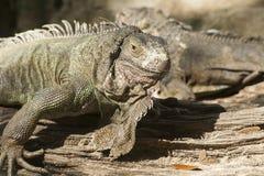 Zielona iguana lub Pospolita iguana/Jesteśmy Środkowy i Ameryka Południowa gatunki iguana miejscowy Zdjęcia Stock