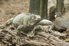Zielona iguana lub Pospolita iguana/Jesteśmy Środkowy i Ameryka Południowa gatunki iguana miejscowy Obrazy Stock