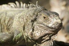Zielona iguana lub Pospolita iguana/Jesteśmy Środkowy i Ameryka Południowa gatunki iguana miejscowy Zdjęcie Stock