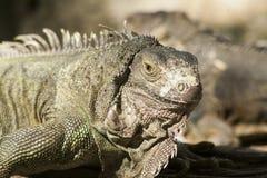 Zielona iguana lub Pospolita iguana/Jesteśmy Środkowy i Ameryka Południowa gatunki iguana miejscowy Zdjęcia Royalty Free