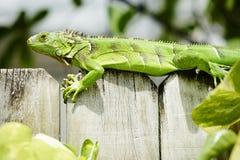 Zielona iguana na ścianie fotografia stock
