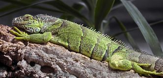 Zielona iguana na gałąź Fotografia Stock