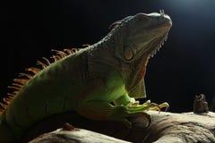 Zielona iguana na gałąź Zdjęcie Royalty Free